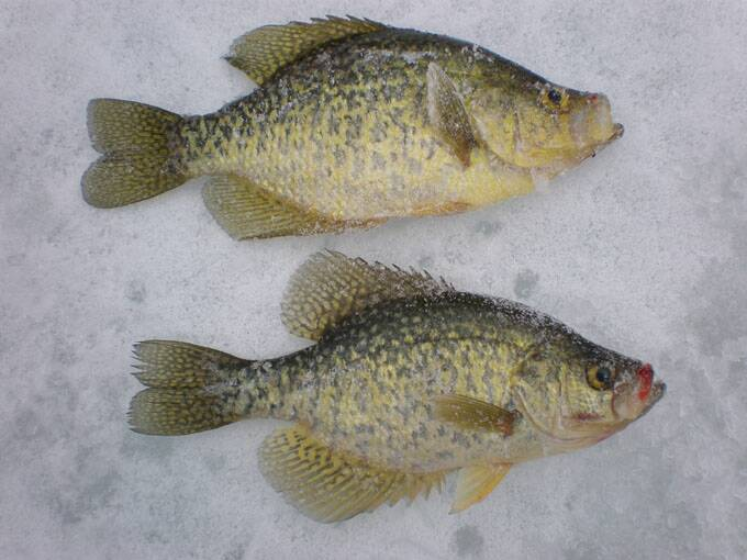 Maumee Fishing Report- Cold nights means ICE- 2 Febuary 2021