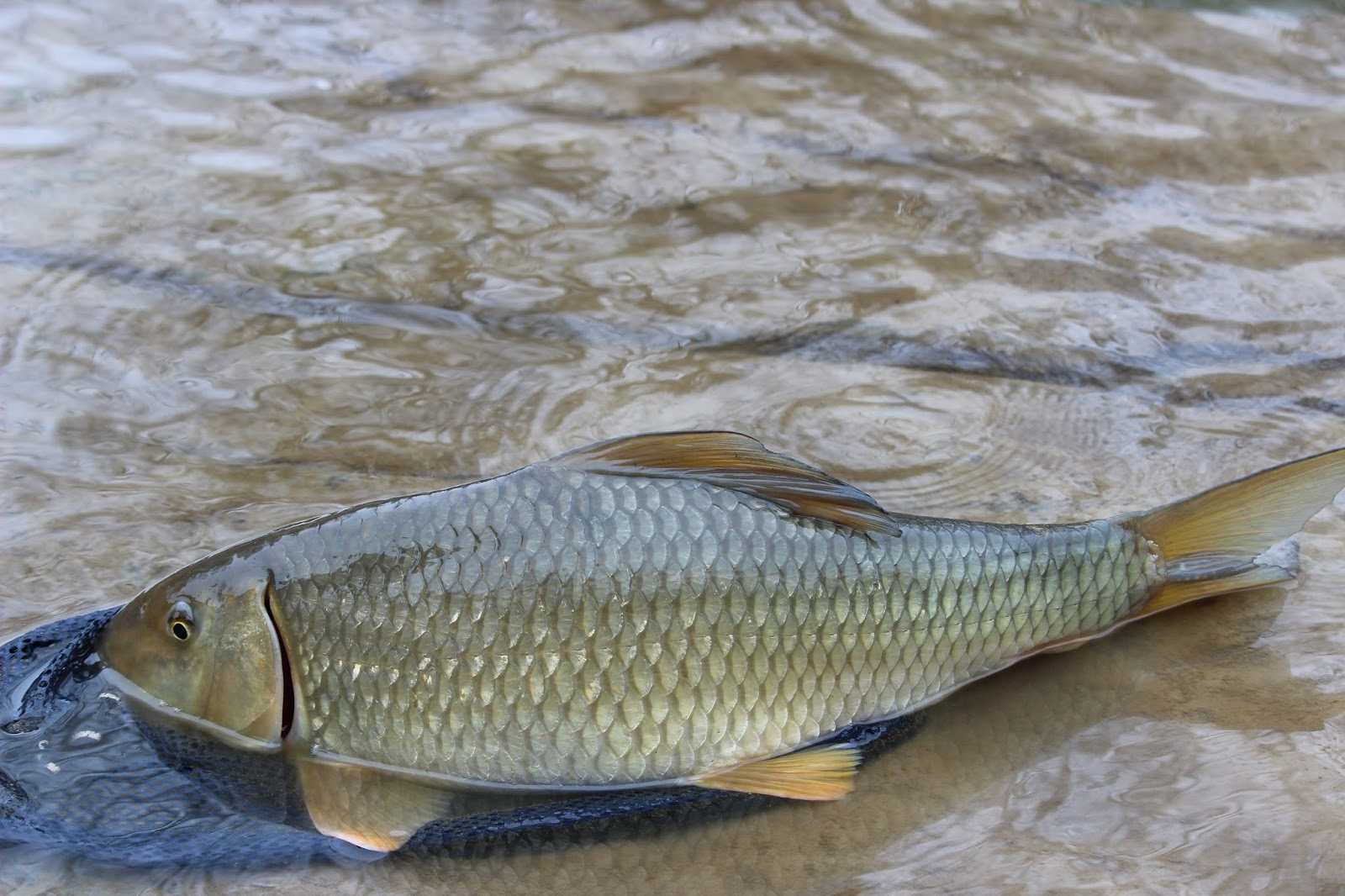Maumee River Report- Febuary 2, 2018