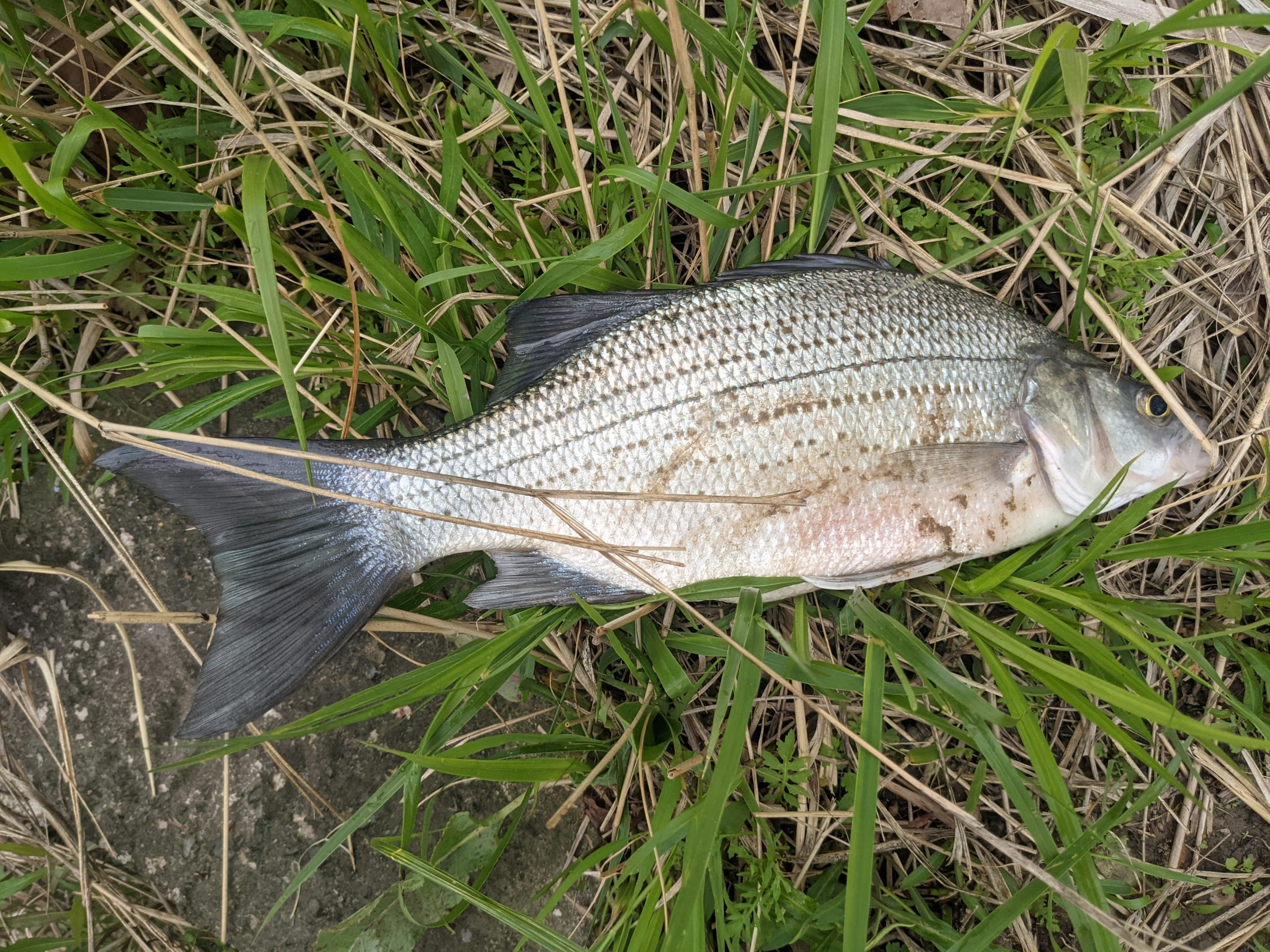 Maumee river Report – May 7 2021- Lots of live bait in stock